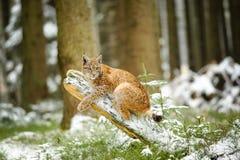 Eurasisches Luchsjunges, das auf Baumstamm im bunten Wald des Winters liegt Lizenzfreie Stockfotografie