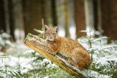 Eurasisches Luchsjunges, das auf Baumstamm im bunten Wald des Winters liegt Stockfotografie