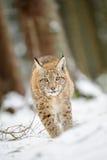 Eurasisches Luchsjunges, das auf Schnee im Wald geht Stockbilder