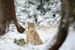 Eurasisches Luchsjunges, das im bunten Wald des Winters mit Schnee sitzt Stockfoto