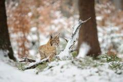 Eurasisches Luchsjunges, das im bunten Wald des Winters mit Schnee steht Lizenzfreie Stockbilder