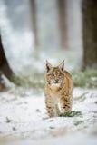 Eurasisches Luchsjunges, das im bunten Wald des Winters mit Schnee steht Stockfotografie