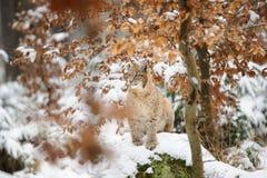Eurasisches Luchsjunges, das im bunten Wald des Winters mit Schnee steht Stockbilder