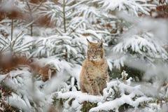 Eurasisches Luchsjunges, das im bunten Wald des Winters mit Schnee steht Stockbild
