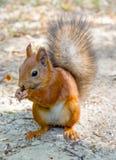 Eurasisches rotes Eichhörnchen Stockfoto