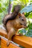 Eurasisches rotes Eichhörnchen Stockfotos