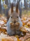 Eurasisches rotes Eichhörnchen Stockbilder