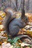 Eurasisches rotes Eichhörnchen Stockfotografie