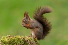 Eurasisches rotes Eichhörnchen Lizenzfreie Stockfotografie