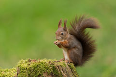 Eurasisches rotes Eichhörnchen Stockbild