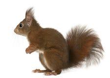 Eurasisches rotes Eichhörnchen, Sciurus gemein Stockbild