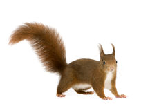 Eurasisches rotes Eichhörnchen - Sciurus gemein (2 Jahre) stockbilder