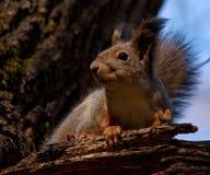 Eichhörnchen - ninja Stockbilder