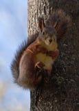 Rotes Eichhörnchen, das auf dem Baum sitzt Lizenzfreie Stockfotografie