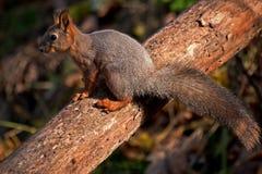 X-Überfahrt des Eichhörnchens mit einem Baum Stockbild