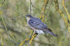 Eurasisches sparrowhawk Accipiter nisus Stockfotos