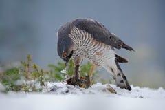 Eurasisches sparrowhawk, Accipiter nisus, sitzend auf Schnee im Wald mit kleinem Singvogel des Fanges Lizenzfreie Stockfotos