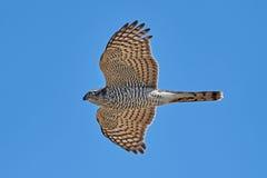 Eurasisches sparrowhawk u. x28; Accipiter nisus& x29; Stockfotografie