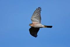 Eurasisches sparrowhawk u. x28; Accipiter nisus& x29; Lizenzfreie Stockfotografie