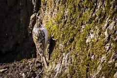 Eurasisches treecreeper/allgemeines treecreeper/Certhia familiaris lizenzfreie stockfotografie
