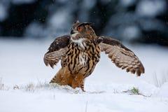 Eurasisches Uhufliegen mit offenen Flügeln im Wald während des Winters mit Schnee und Schneeflocke Lizenzfreie Stockfotos
