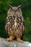 Eurazjata Eagle Ow Obrazy Royalty Free
