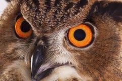 Eurazjata Eagle sowa Obrazy Royalty Free