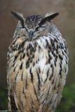 Eurazjata Eagle sowa Zdjęcia Stock