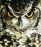 Eurazjata Eagle sowa (dymienicy dymienica) Fotografia Royalty Free