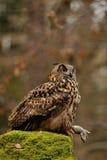 Eurazjata Eagle sowy mienia mysz jak zdobycz Fotografia Royalty Free