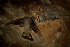 Eurazjatyccy Crag Martin, Ptyonoprogne rupestris - obraz stock