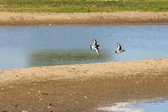 Eurazjatyccy oystercatchers, Hengforderwaarden, Holandia Zdjęcie Stock