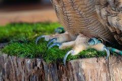 Eurazjatyccy sowa pazury Eurazjatycka sowa drapa wewnątrz, gatunki sowa mieszkaniec Eurasia dużo Miejsce dla obrazy royalty free