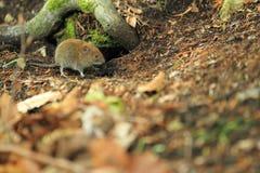 Eurazjatycka żniwo mysz zdjęcia royalty free