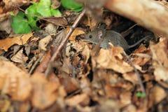 Eurazjatycka żniwo mysz fotografia royalty free