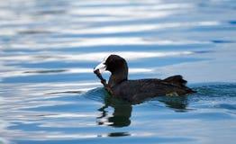 Eurazjatycka coot kaczka trzyma gałąź (fulica atra) Zdjęcie Royalty Free