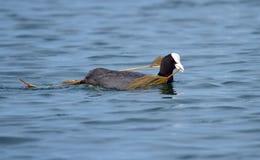 Eurazjatycka coot kaczka trzyma gałąź (fulica atra) Fotografia Stock