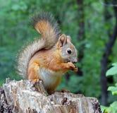 Eurazjatycka czerwona wiewiórka nadgryza dokrętki Zwyczajny Wiewiórczy lat Sciurus vulgaris jest genus ślepuszonki wiewiórcza rod zdjęcie royalty free