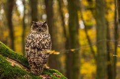 Eurazjatycka Eagle sowa Zdjęcie Stock