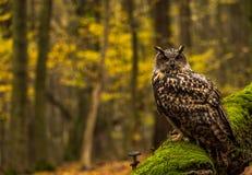 Eurazjatycka Eagle sowa Obraz Stock