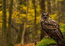 Eurazjatycka Eagle sowa Obrazy Stock