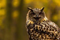 Eurazjatycka Eagle sowa Zdjęcie Royalty Free