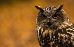 Eurazjatycka Eagle sowa Fotografia Stock