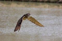 Eurazjatycka lub Europejska orzeł sowa Sowa ptak lata ab zdobycz Obrazy Stock