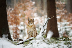 Eurazjatycka rysia lisiątka pozycja w zima kolorowym lesie z śniegiem Obrazy Royalty Free