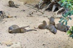 Eurazjatycka wydra Zdjęcia Stock