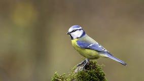 Eurazjatycki Błękitny Tit na mech Zdjęcia Stock