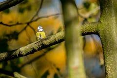 Eurazjatycki Błękitny Tit, ptak, malutki koloru żółtego, białego i błękitnego, obrazy royalty free