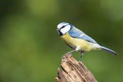 Eurazjatycki Błękitny Tit w drzewie Zdjęcia Stock