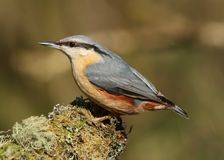 Eurazjatycki bargla Sitta europaea ptak zdjęcia royalty free